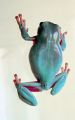 Litoria caerulea on glass.jpg