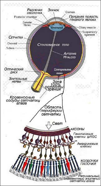 Файл:Schematic diagram the human eye(4).jpg